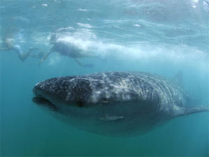 Whale Shark, Donsol