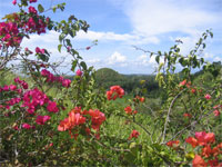 Chocolate Hills and Flowers, Bohol