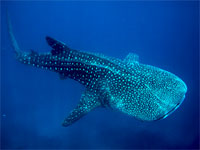 Whale sharks, Oslob, Philippines