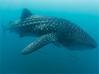 Whale shark, Donsol, Philippines